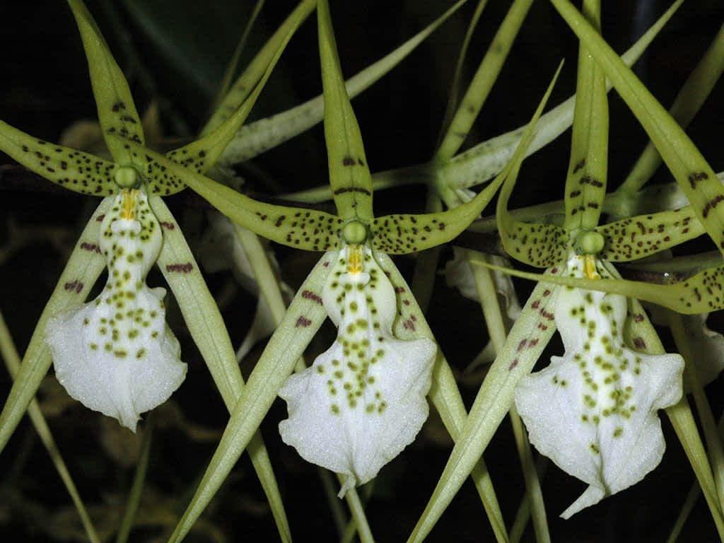 En este momento estás viendo 5 – ¿Cómo se cultivan las bellas y extravagantes orquídeas Cambria?