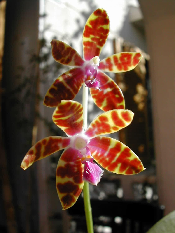 Lee más sobre el artículo 2- Unos sencillos pasos para que tu Phalaenopsis esté feliz