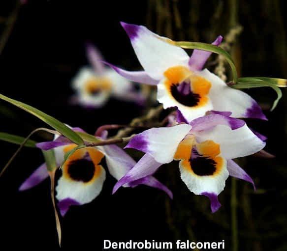 En este momento estás viendo 4 – El maravilloso mundo de las orquídeas Dendrobium